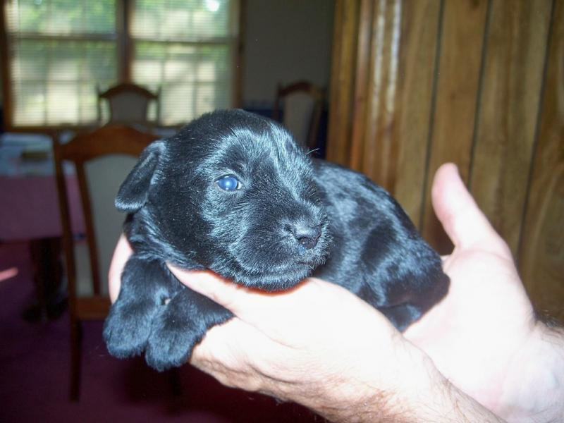 Standard Schnauzers Pups For Sale
